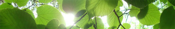 linden-tree-leaves-backlit-long